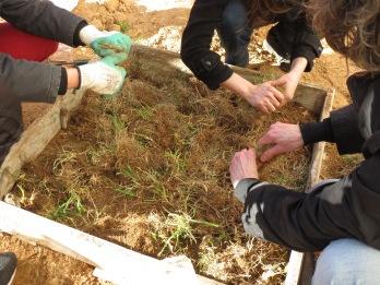 PHoto 13 Culture Lasagne-etape 3 dechets verts frais azotés19-03-18 College Rimbaud